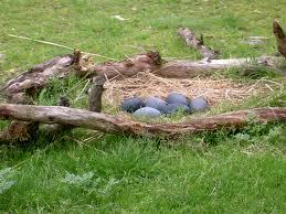البيض الأزرق لطائر الأميو
