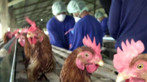 صورة انفلونزا الطيور: تحذير علمي بأن فيروس إتش7إن9 يشكل تهديدا جديا للإنسان