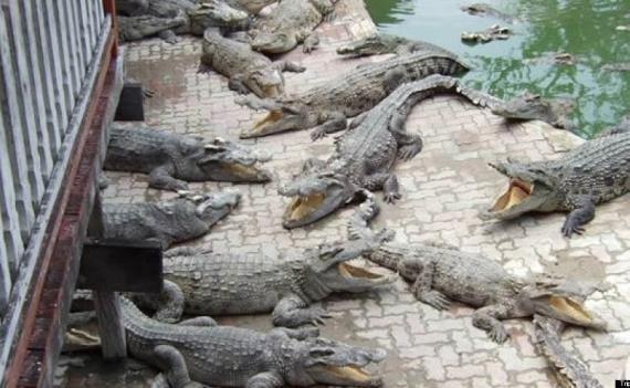 صورة البيئة : ضبط 15 تمساحً فى النيل بكرداسة وتسليمها لحديقة الحيوان