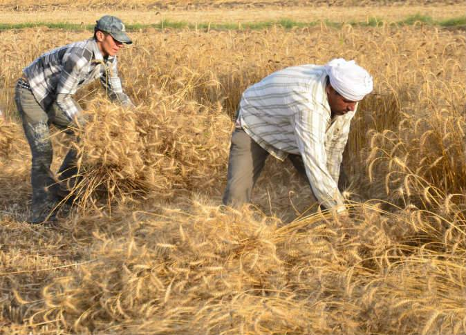 صورة الزراعة بالشرقية : سوء الطقس ورطوبة الجو لم يؤثر على إنتاجية محصول القمح