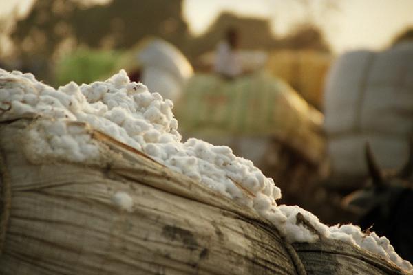 صورة الزراعة : 1250 جنيه سعر قنطار القطن بالوجه البحرى