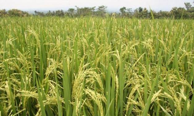 بانخفاض سعر الأرز 40 الأسبوع المقبل والفائض سيصل لـ1.5مليون طن