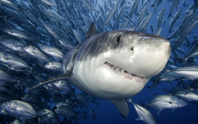 صورة حقيقة إطلاق أنواع مفترسة من أسماك القرش بالمياه الإقليمية