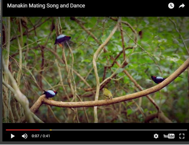 صورة بدلا من الخناقات.. عصافير ترقص للفوز بقلب الأنثى