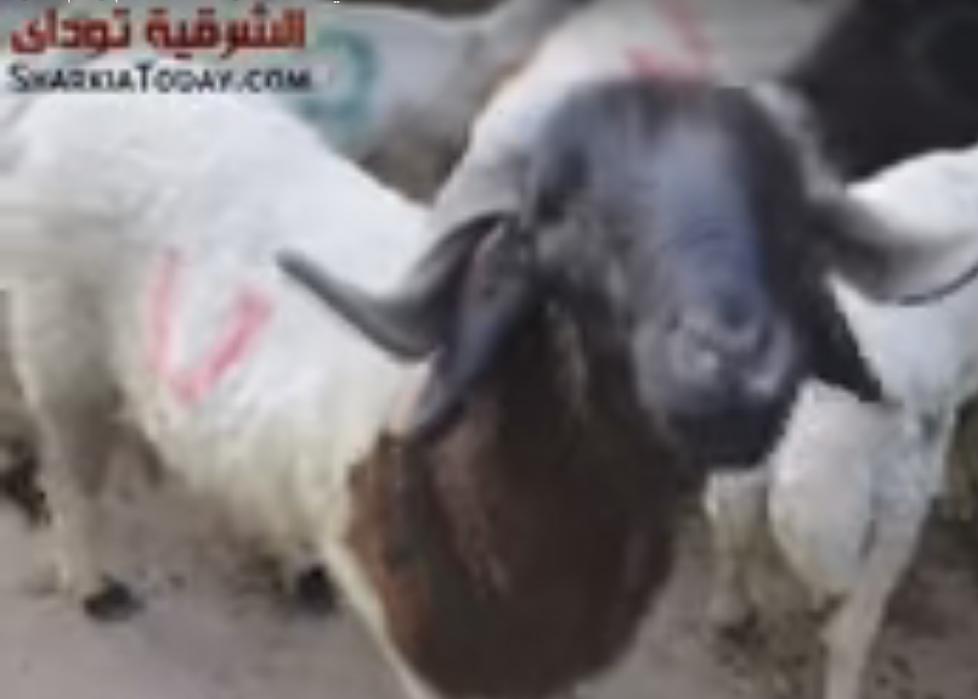 صورة شاهد أضاحي العيد بالشرقية