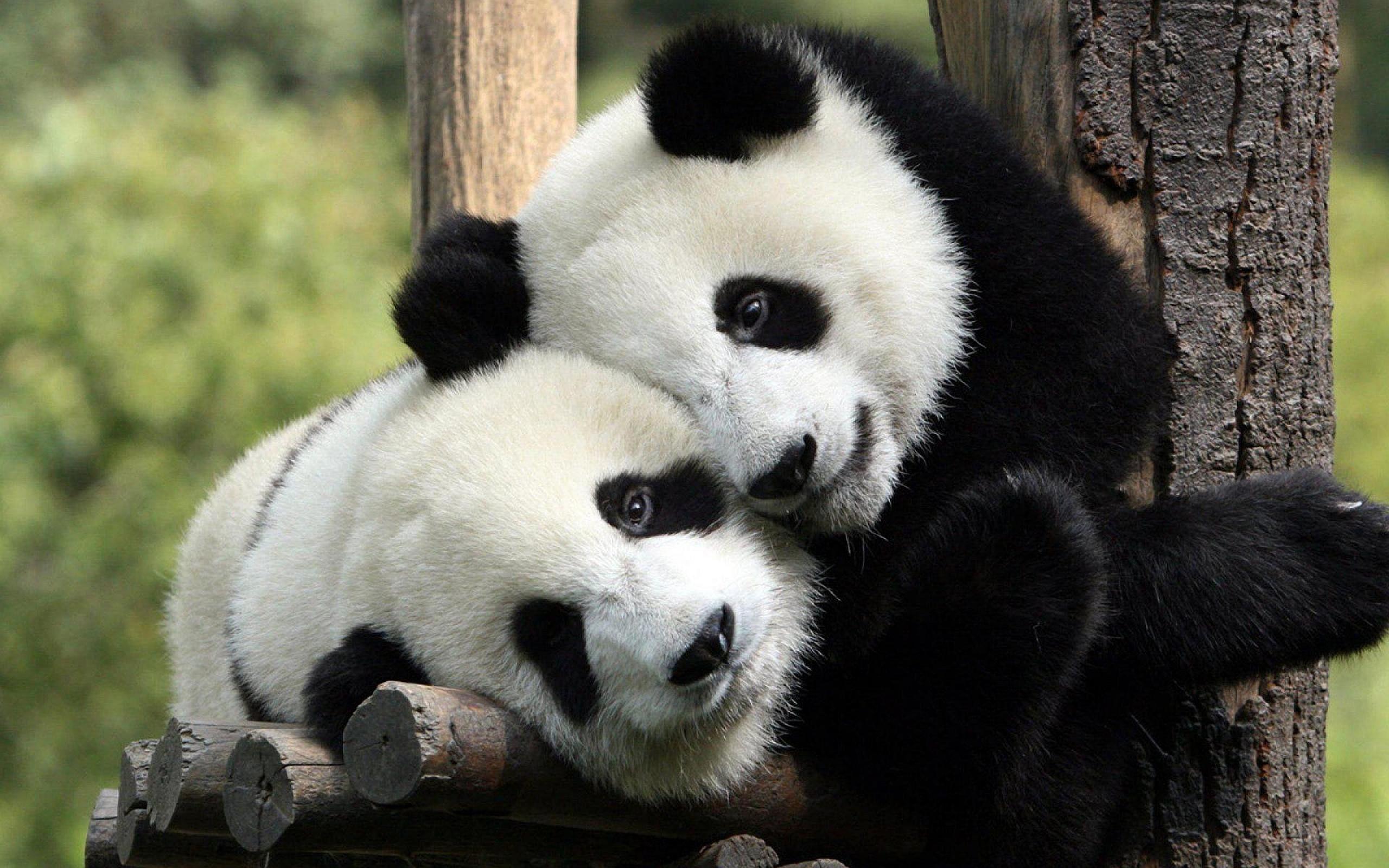 صورة بالفيديو.. بعد طول إنتظار.. الباندا تودع خطر الإنقراض