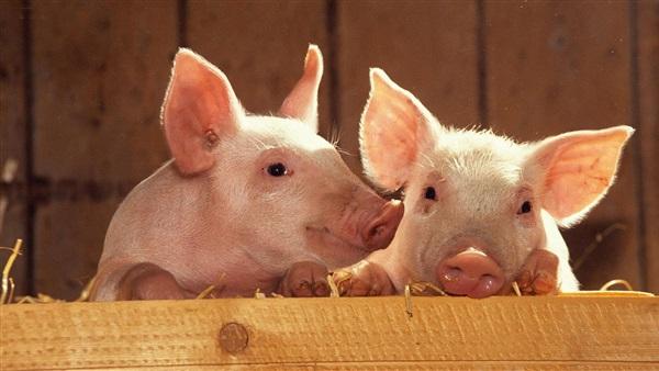 صورة وزير البيئة: الخنازير أفضل وسيلة للتخلص من المخلفات العضوية