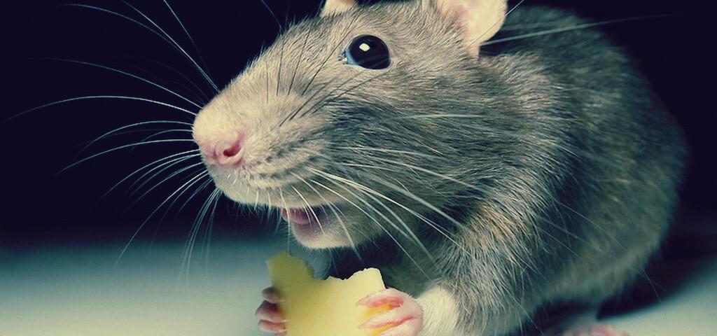 صورة ماذا فعل رجل صيني مع فئران سرقت متجره