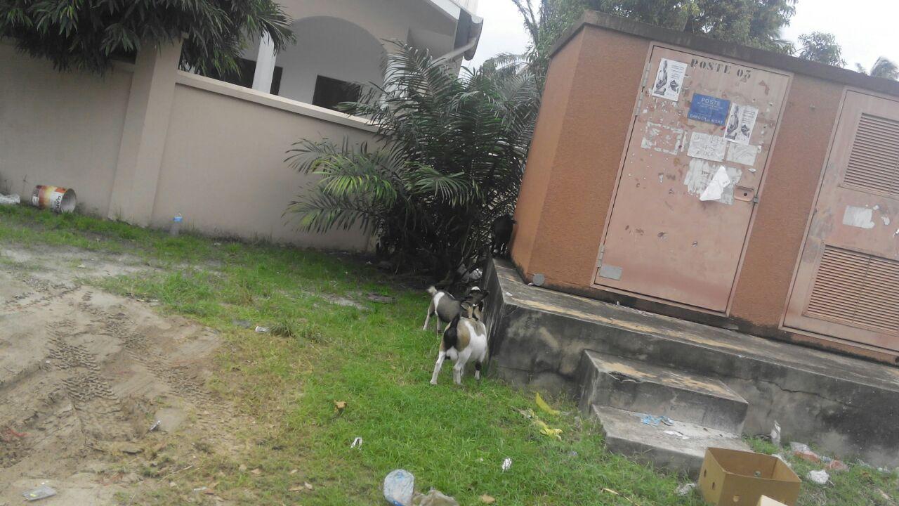 صورة بالصور .. الماعز  تحاصر فندق منتخب الفراعنة بالجابون