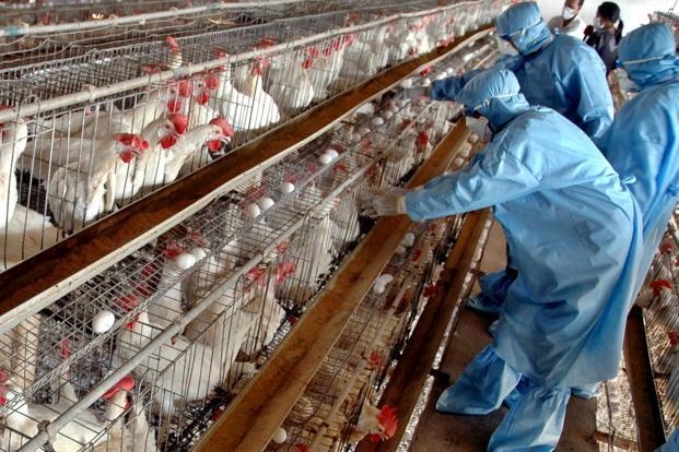 صورة الزراعة: تشكيل وحدة طوارئ لمكافحة أنفلوانزا الطيور بعد أنتشار المرض