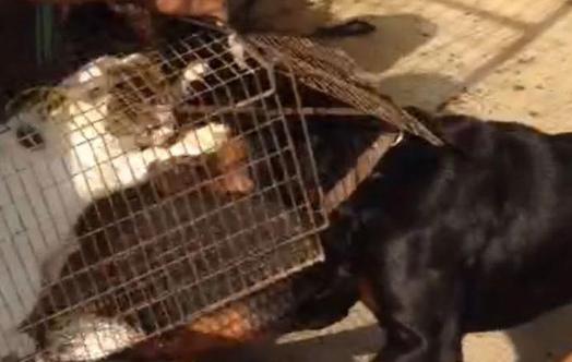صورة القبض على صاحب فيديو الكلاب التي تنهش قطة