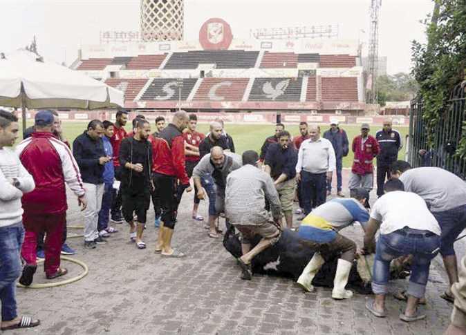 صورة لاعبي الأهلي يذبحون عجلين لـ«فك النحس»
