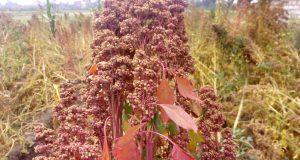 هل نبات «الكينوا»