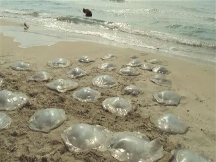 الأكياس البلاستيكية سبب انتشار «قناديل البحر»