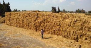 بيئة الشرقية تجمع 12 ألف طن قش أرز من المزارعين