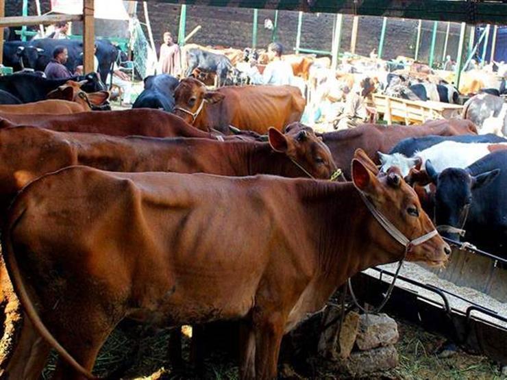 صورة الزراعة تعلن انخفاض أسعار الماشية وتكشف السبب