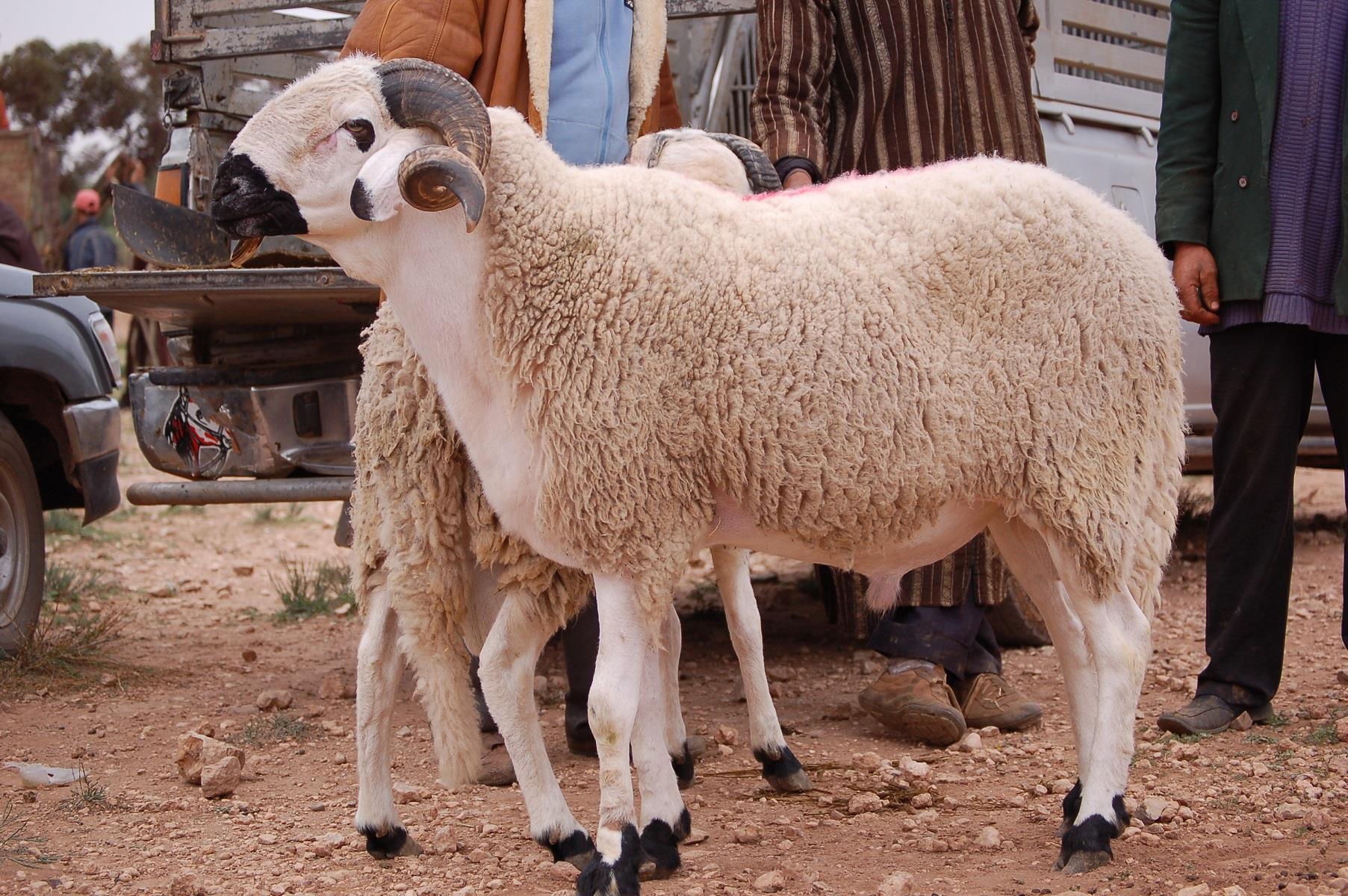 صورة الزراعة تنصح المواطنين قبل شراء أضحية العيد