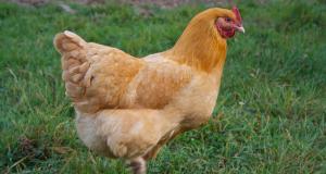 أزهري يسخر من فتوى الأضحية بدجاجة