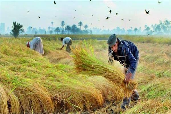 صورة حصاد 21 ألف فدان أرز بالشرقية منذ بدء موسم الحصاد