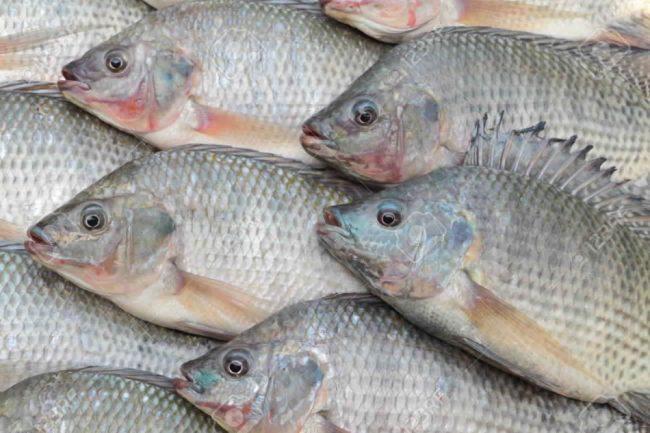 أسماك البلطي