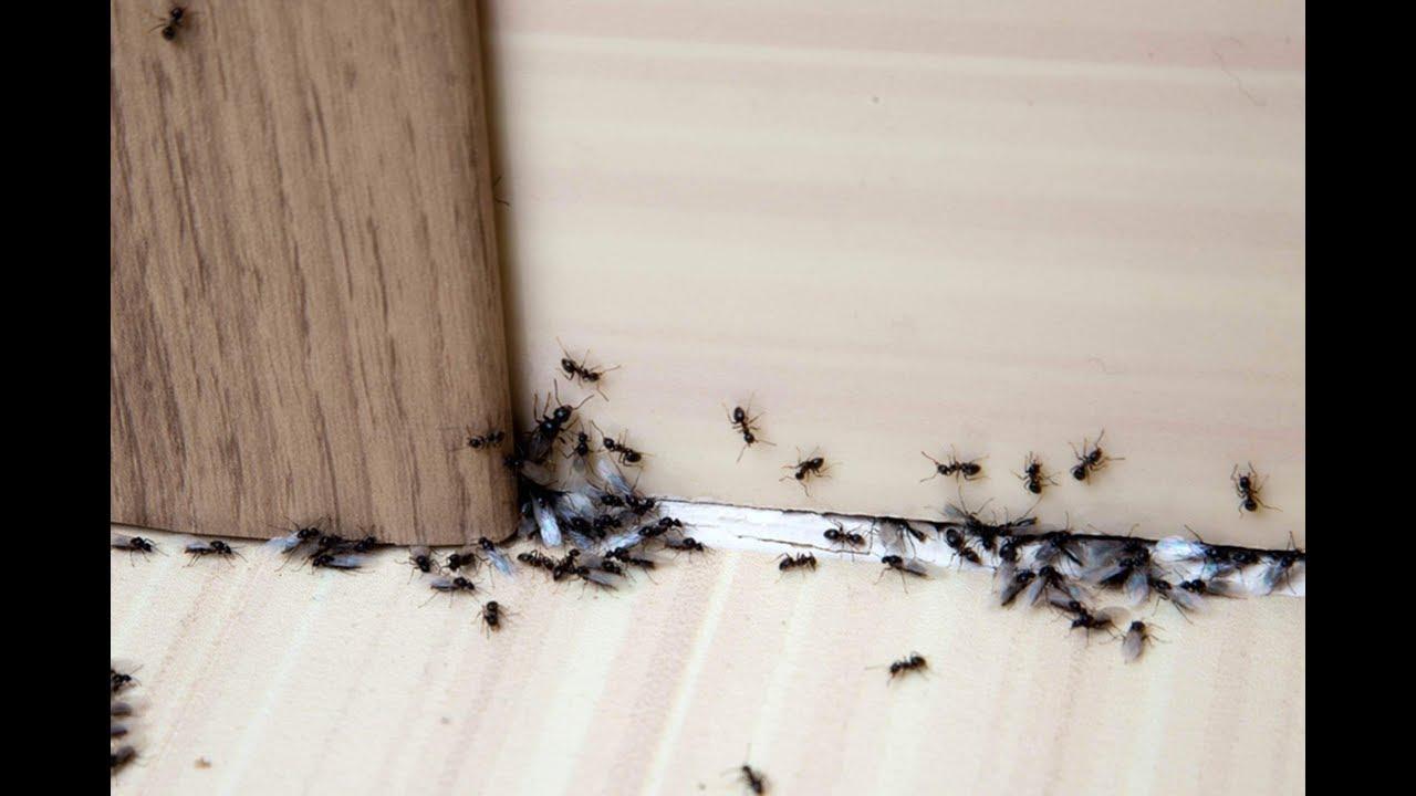 صورة 6 وصفات منزلية بسيطة للتخلص من النمل