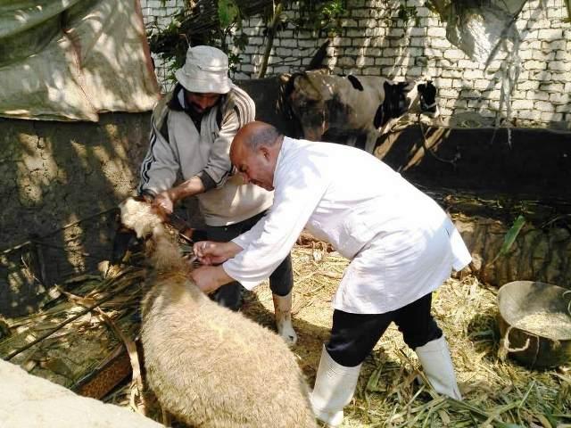 صورة تحصين 133 ألف رأس ماشية ضد الحمى القلاعية بالشرقية