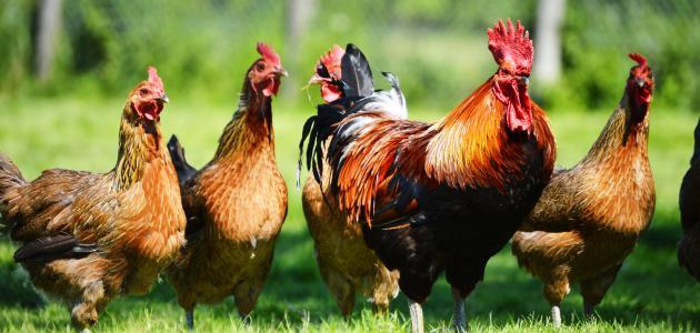 دجاج البيض