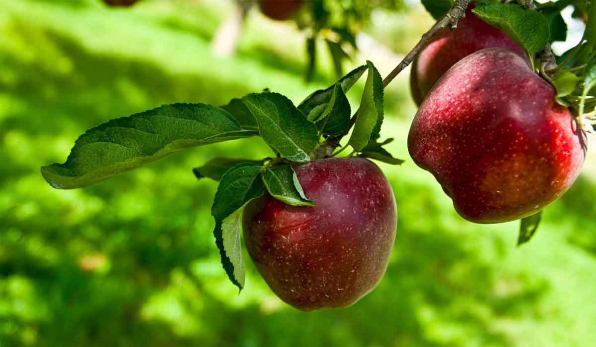 صورة فوائد التفاح لمرضى السكر