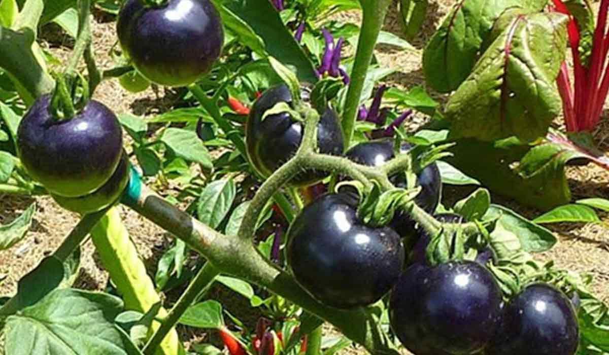 فوائد الطماطم السوداء