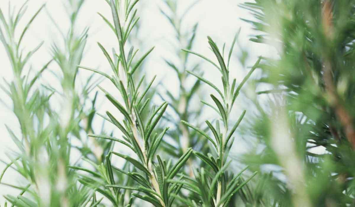 فوائد عشبة إكليل الجبل الشرقية توداي