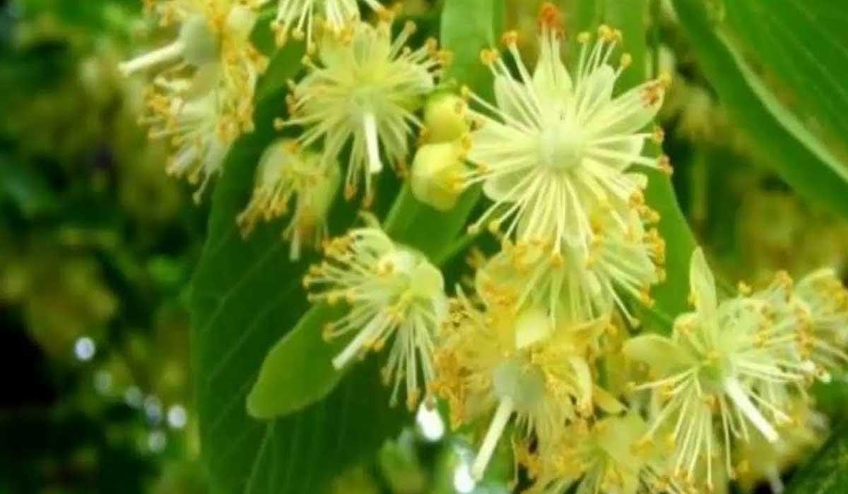 صورة فوائد عشبة الزيزفون