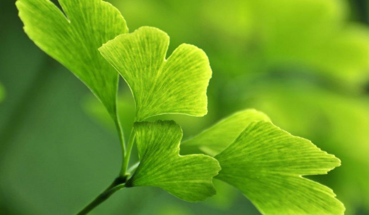 صورة فوائد عشبة جنكو بيلوبا