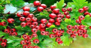 فوائد عشبة زهر الزعرور