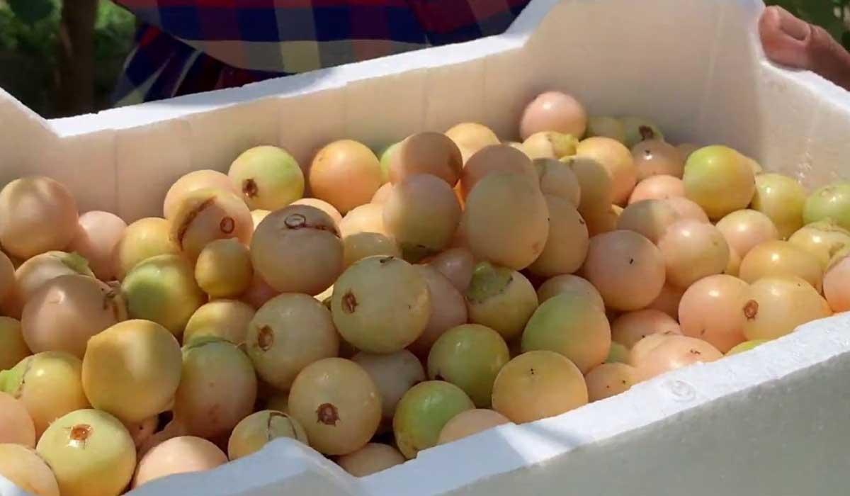 صورة فوائد فاكهة البمبر