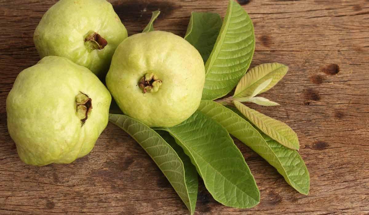 فوائد ومضار أوراق الجوافة