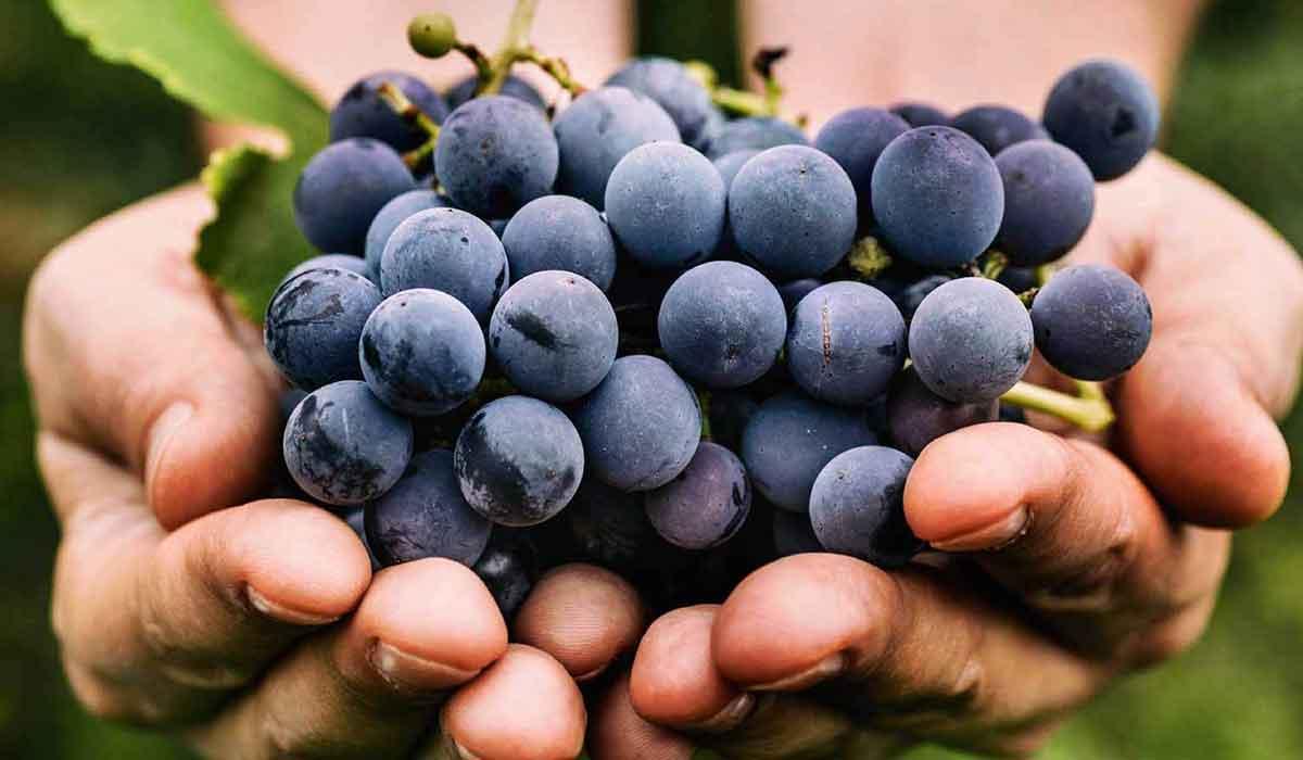 فوائد العنب للحامل