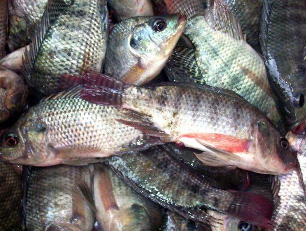 صورة أسعار السمك اليوم الجمبري 90 والبوري 46