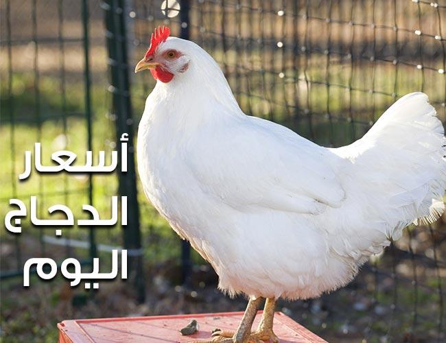 الدجاج اليوم