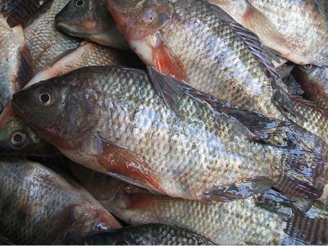 السمك اليوم