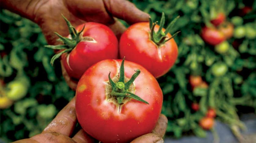 صورة الزراعة تكشف حقيقة إصابة الطماطم بمرض مسرطن