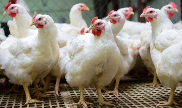 صورة ننشر أسعار الدواجن والبيض والأرانب والبط