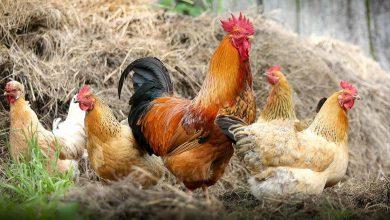 صورة أسعار الدواجن اليوم الاثنين 14-9-2020 والبط والأرانب والكتاكيت وكرتونة البيض