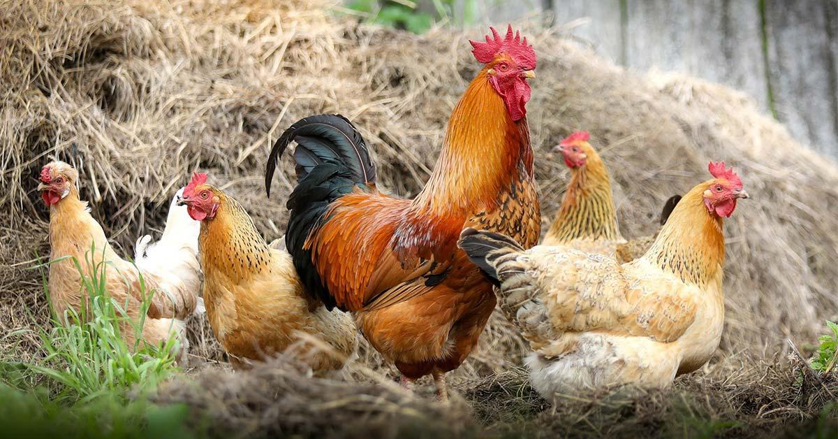 أسعار الدواجن اليوم الاثنين 14-9-2020 والبط والأرانب والكتاكيت وكرتونة البيض