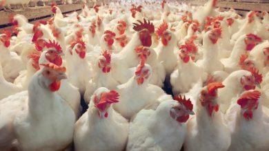صورة آخر تحديث لأسعار الدواجن والبط والأرانب