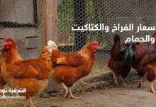 صورة أسعار الفراخ والكتاكيت والحمام في مصر اليوم