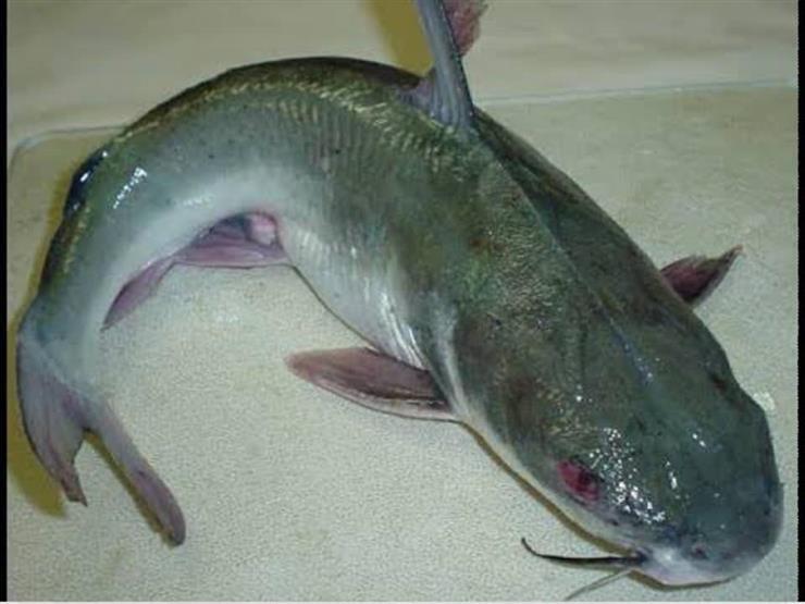 السمك الموجود بالترع والمصارف