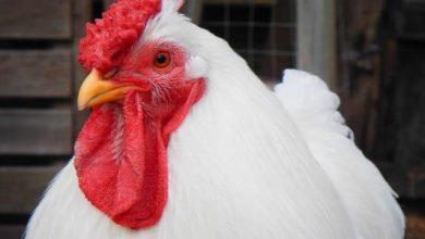 صورة أسعار الدواجن اليوم الخميس 10 سبتمبر في بورصة الدجاج والبيض