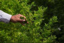 صورة علاج كورونا بالأعشاب من الصحة العالمية