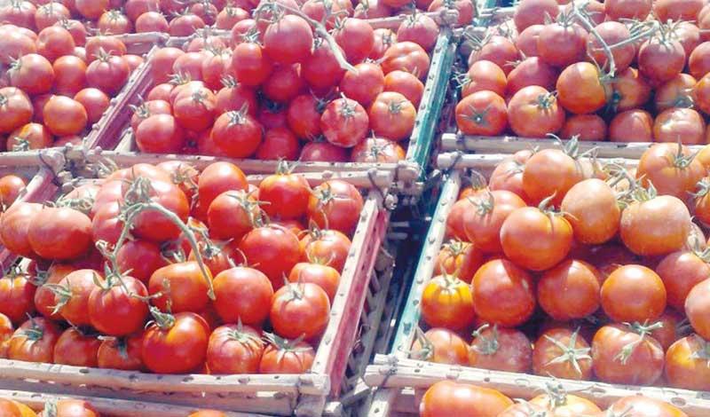 انهيار أسعار الطماطم