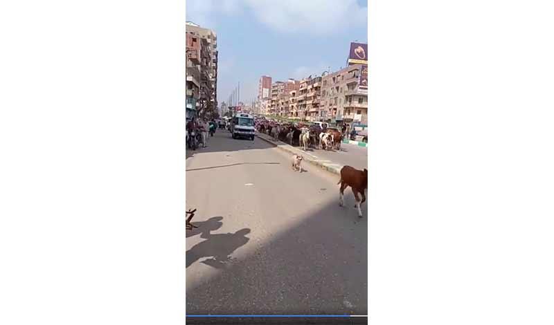 أبقار في شوارع الزقازيق 2
